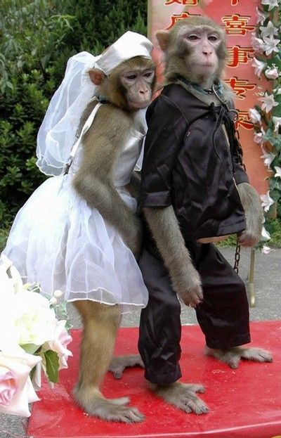 A 7-year-old male monkey named Wukong (R) and a 6-year old female monkey named Xiaoya are seen during a special wedding ceremony at a zoo in Wenling, Zhejiang province, September 4, 2008. The zoo organised the special wedding ceremony hoping to attract more visitors, local media reported. REUTERS/Stringer (CHINA). CHINA OUT. NO COMMERCIAL OR EDITORIAL SALES IN CHINA.