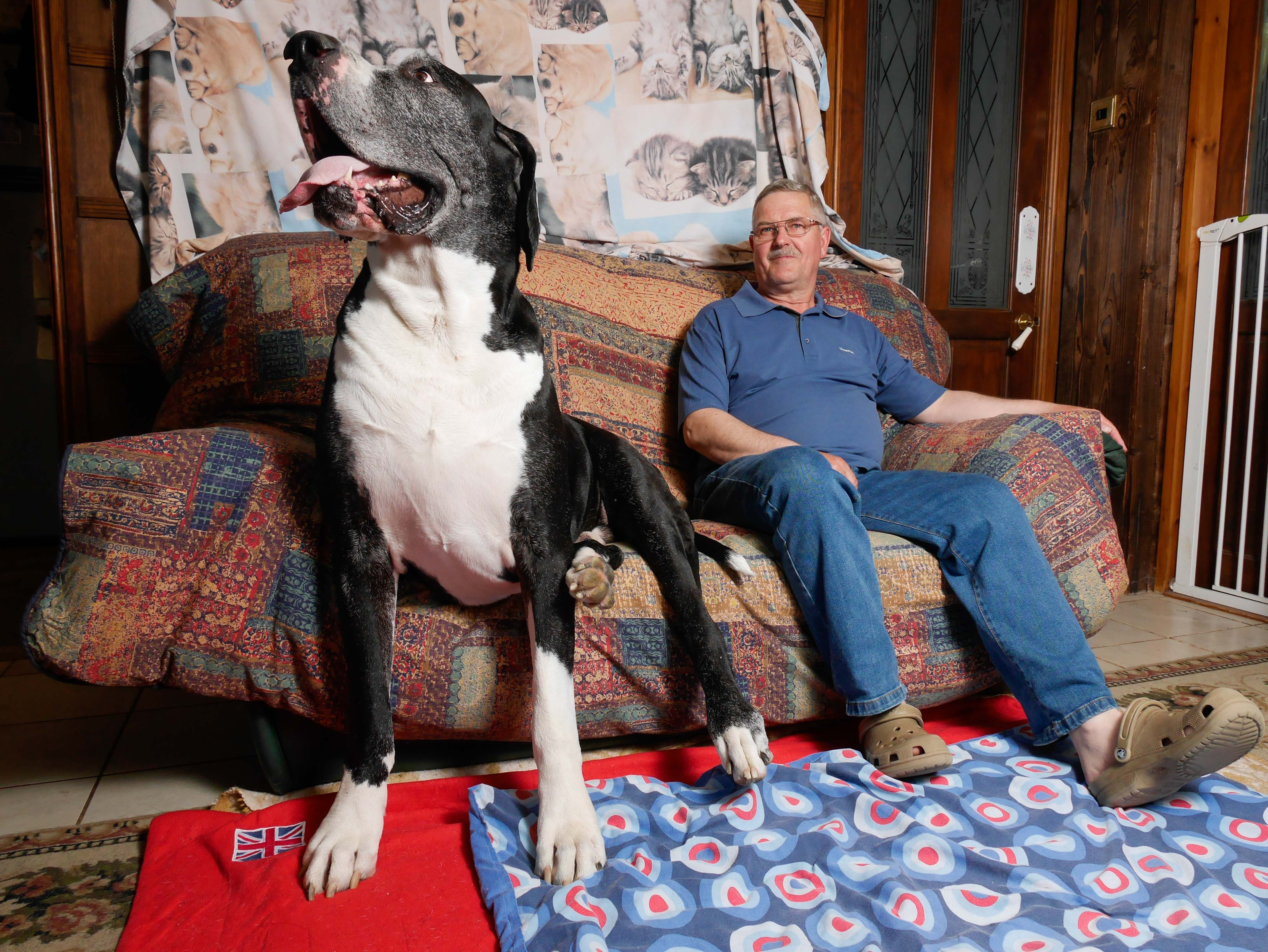 ****ONLINE EMBARGO - 00.01 WEDNESDAY 12TH AUGUST 2015**** PIC BY MERCURY PRESS (PICTURED: Yogi Bear and owner Rob on Yogi's couch) A granny was left 'in the dog house' when she told her husband they had adopted a Jack Russell – only for the puppy to grow into one of the biggest dogs in the UK. Grandmother-of-four Sue Markham fell in love with 1lb 15oz puppy Yogi but husband Robert, both 57, had said he didn't want a 'big dog'. So Robert was left stunned when the 'Jack Russell' didn't stop growing and turned into a 15-stone monster – who chomps his way through £37 worth of food every week. Yogi, known in the village as 'Bear' due to his size, turned out to be a Boston Great Dane that now has his own three-acre paddock for exercise and wears an outdoor horse coat since he was too big for any designed for
